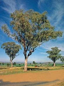 White Box Eucalyptus albens